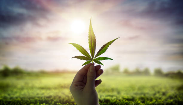 The short-term side effects of heavy marijuana use include dry or red eyes, dry mouth, rapid heartbeat, lung irritation, fatigue, problems with temporary memory, difficulty reading or storing information, loss of connection, anxiety or confusion, irritation of the lungs by smell.