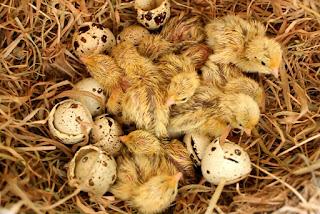 Hatching organic golden Italian quail chicks