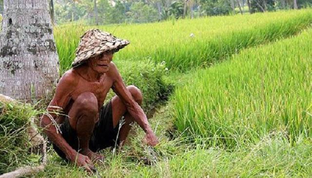 Sehari-hari hanya Bekerja di Sawah, Petani Umur 80 Ini Malah Terpapar Virus Corona, Kok Bisa?