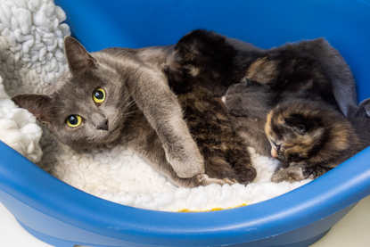 grey cat with a litter of grey-and-white and tortoiseshell kittens