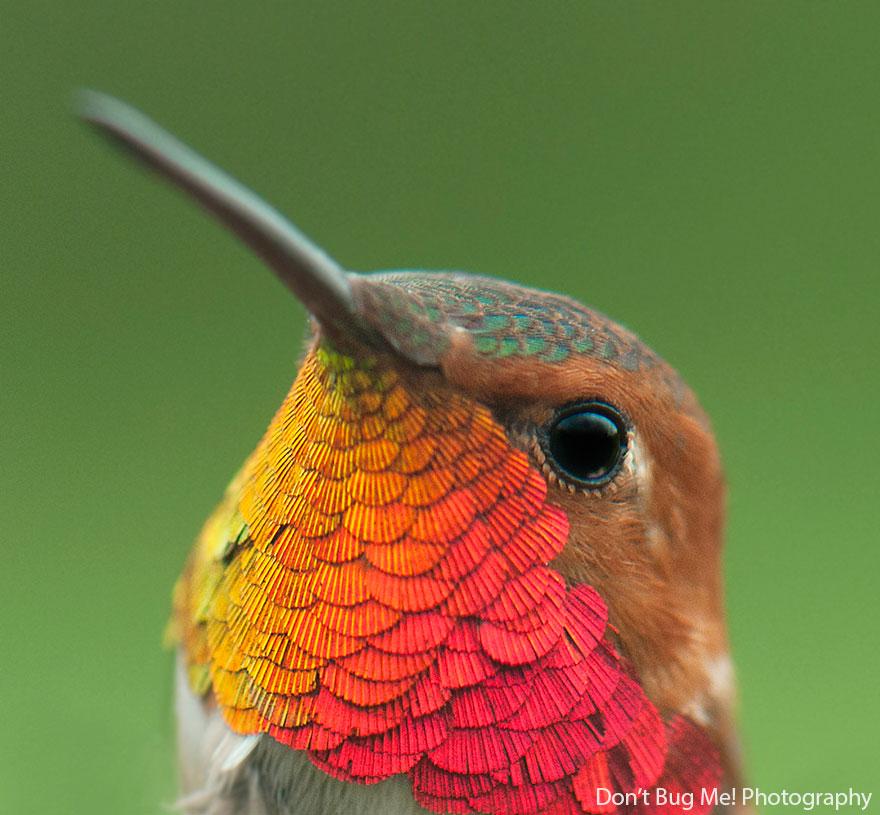 Rufous Hummingbird-1