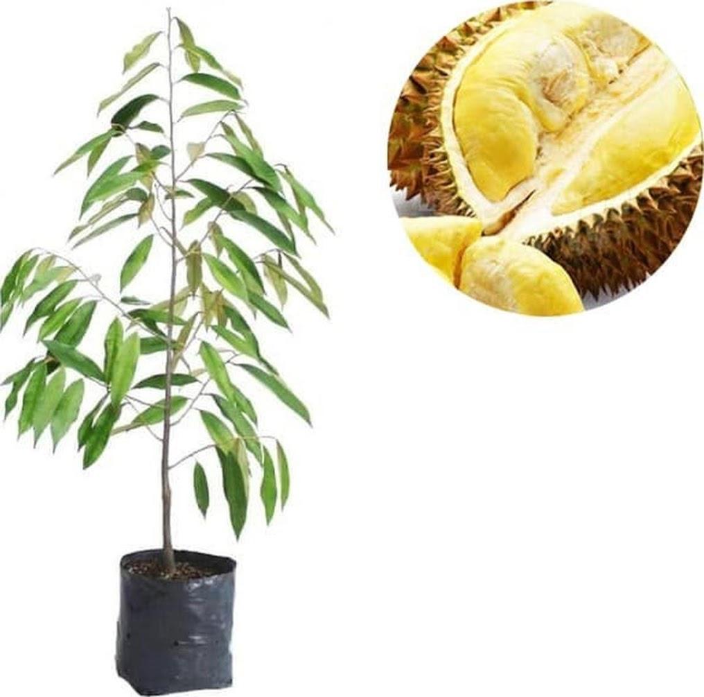 beli 2 Bibit Tanaman Buah Durian Musangking dapat bonus 1 anggur Tegal