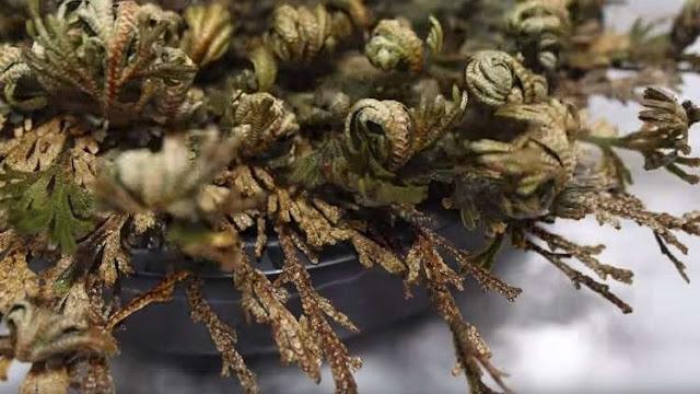 نبات يعود للحياه من جديد وسمي ( نبات القيامة ) - فيديو
