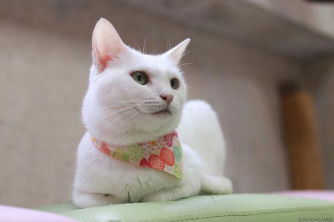 保護猫カフェ、ネコリパブリック東京、お茶の水 白猫さくらちゃん