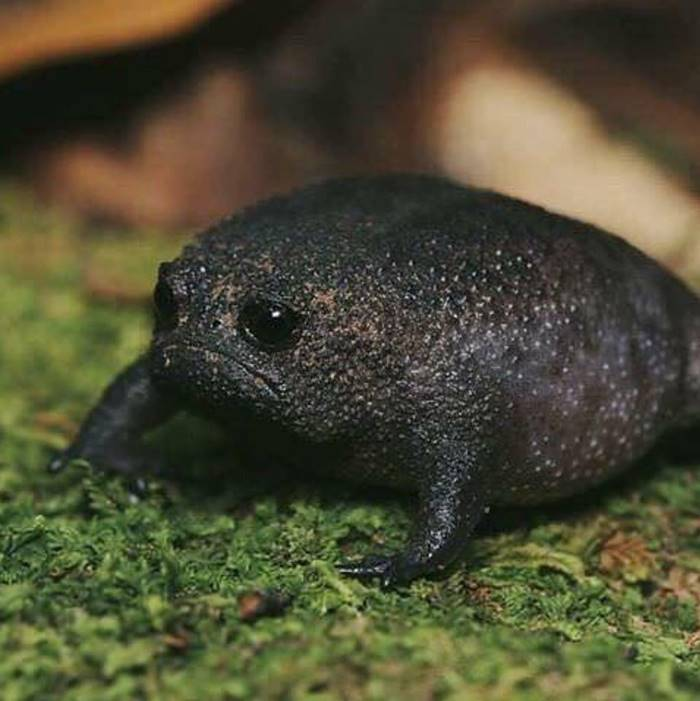 The black rain frog ... seems to have come out of a cartoon, instead it exists in Nature!