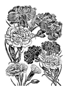flower carnation botanical artwork illustration digital clipart