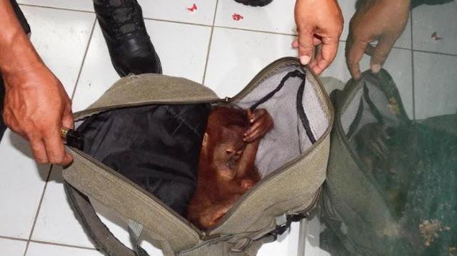 Ramadhani Divonis 2 Tahun Karena Jual Orangutan