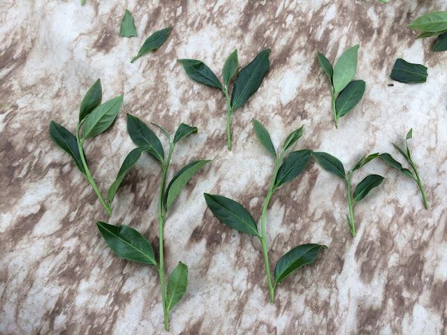 2016鹿谷春茶