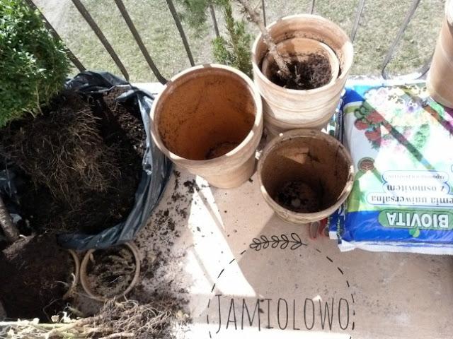 przesadzanie roslin na balkonie