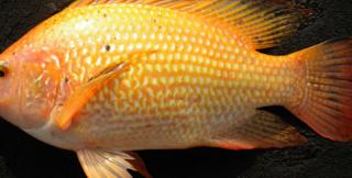 Trik Membedakan Ikan Nila Jantan dan Betina Serta Ciri Ciri Induk Nila Terbaik