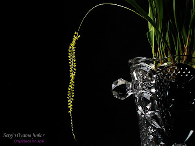 Orquídea Dendrochilum filiforme
