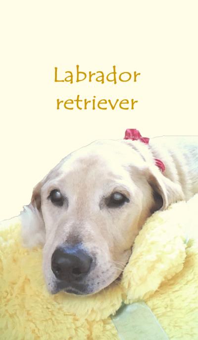 Labrador retriever dog photo theme