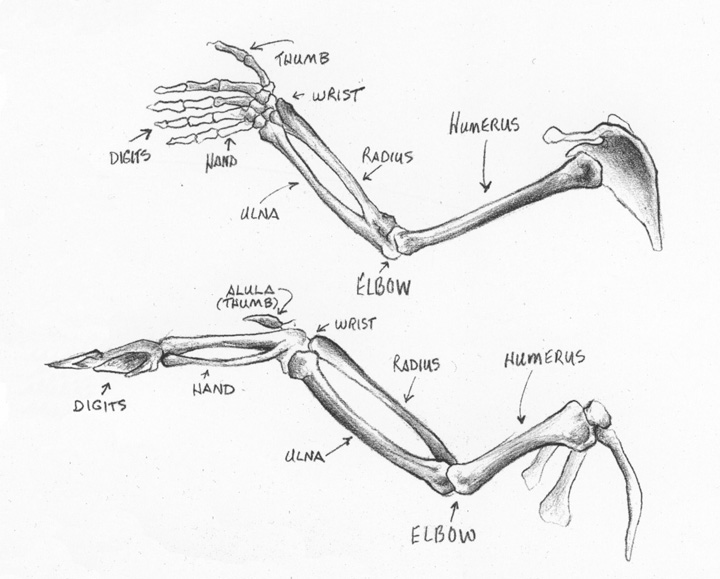 Eagle Anatomy Diagram Wiring For Vw Dune Buggy Sandy Scott Art: #404 In The Studio: Bird