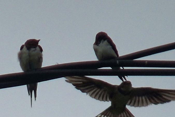 Dlium Barn swallow (Hirundo rustica)