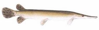 Shortnose gar (ikan aligator terbesar)