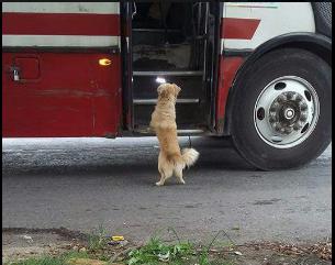 Un perro se volvió viral cuando se subió a un autobús
