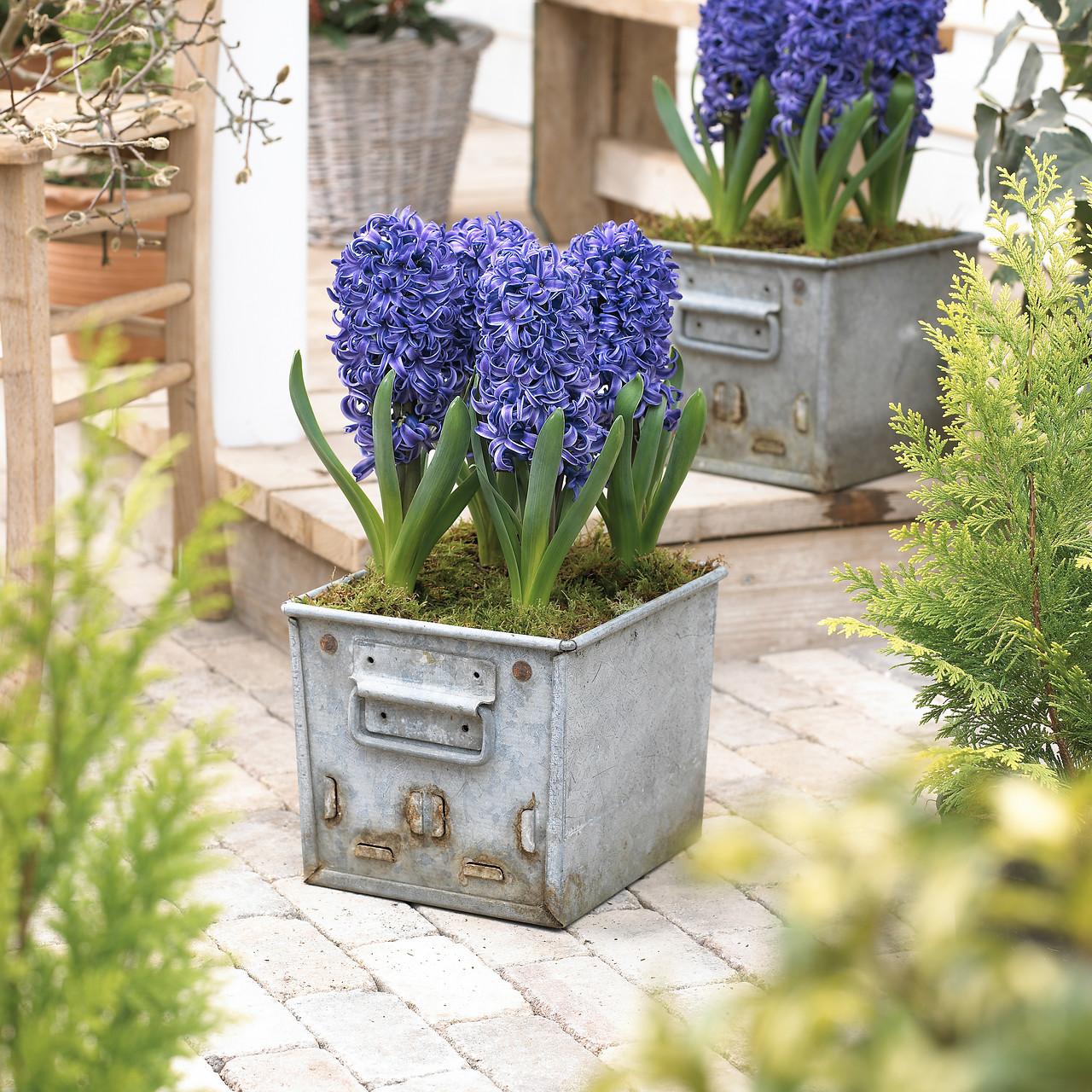 Flores de jacintos en maceta de metal