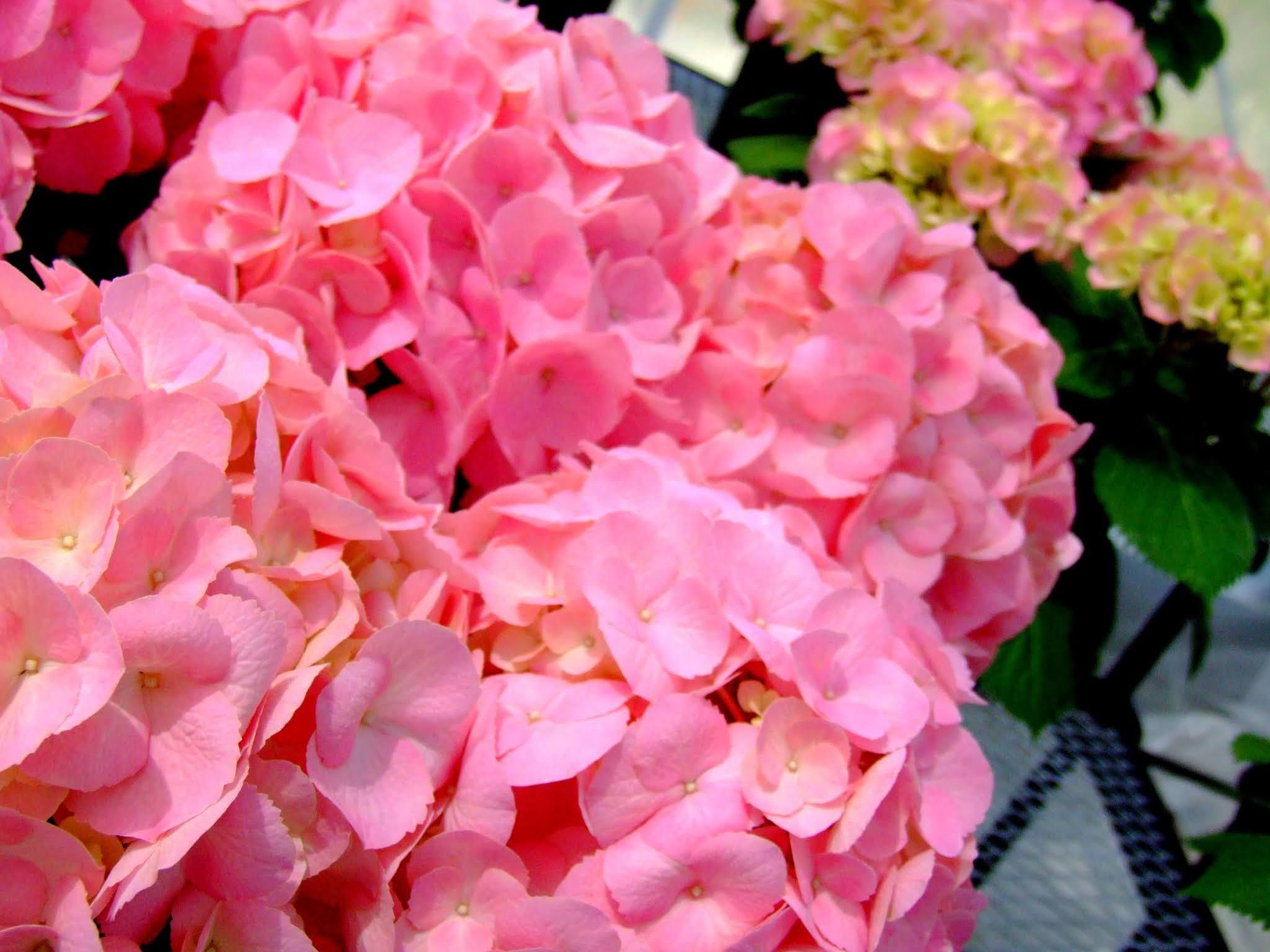 濃いピンクが可愛らしいアジサイのドアップの写真素材です。小さな花びらが集まっていて可愛いです。梅雨の時期のブログ記事などにどうぞ。