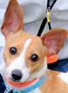 Basenji Chihuahua Mix Temperament, Size, Lifespan, Adoption, Price