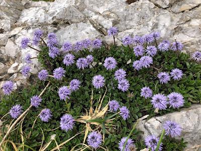 [Plantaginaceae] Globularia cordifolia – Matted Globularia, Heart-Leaved Globe Daisy (Vedovella a foglie cordate)