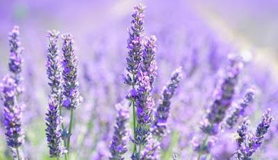 Minyak Lavender Merawat Rambut Indah dan Harum