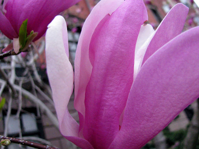 Magnolia-Blossom-in-Boston