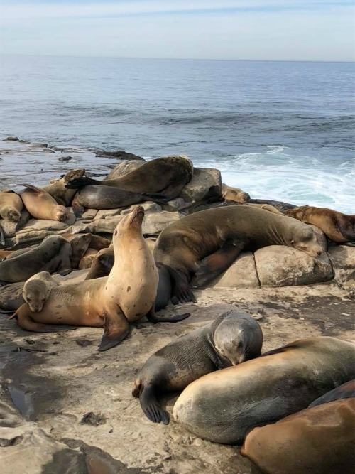 Sea lions in La Jolla Cove, San Diego CA