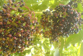 fructe de soc, retete cu soc, preparate din soc, sanatate, naturist, retete culinare, plante medicinale,