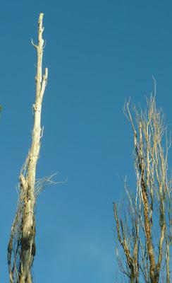 copas de los árboles secos
