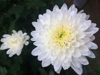 bunga-krisan-sidoarjo