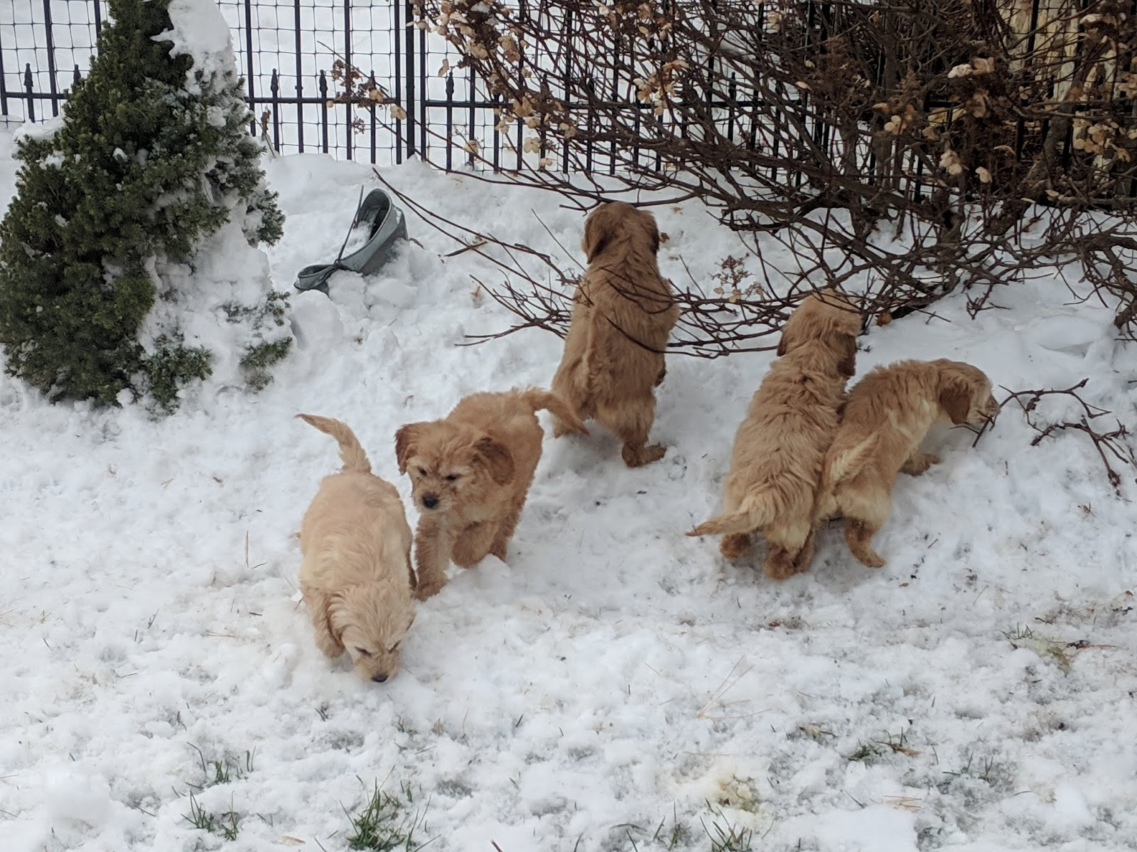 B C Kennels Mini Golden Doodles Ready For Their New Homes