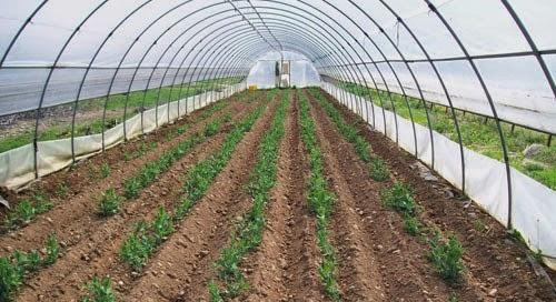 Coltivazione della patata in serra.