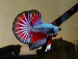 Jenis Jenis Ikan Cupang Hias Dan Aduan Beserta Gambarnya ...