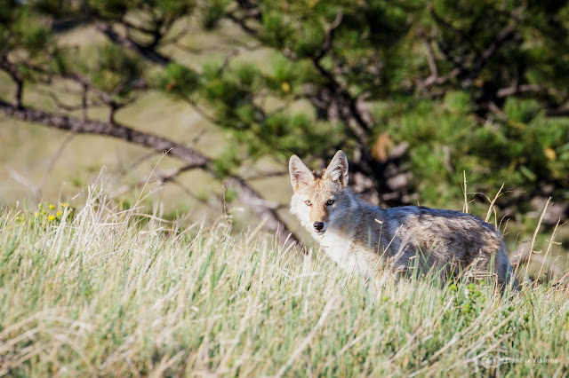 Young Coyote in Custer State Park captured by Dakota Visions Photography