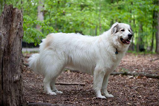 كلب جبال البرانس