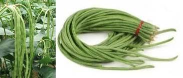 Budidaya tanaman kacang panjang yang cepat panen