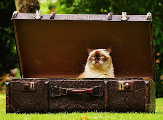 A cat sat in an antique suitcase outdoors, on a lawn, with trees in the background. The cat looks somewhat imperious.