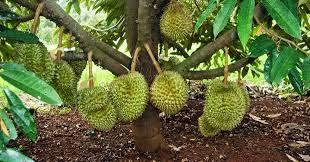 durian montong durian bawor durian musang king durian medan durian petruk pupuk buah durian