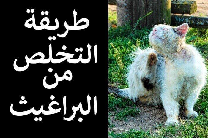 كيفية التخلص من البراغيث في القطط و المنزل