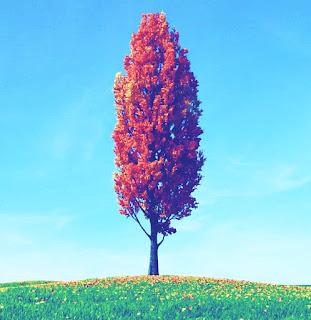 what-is-poplar-tree