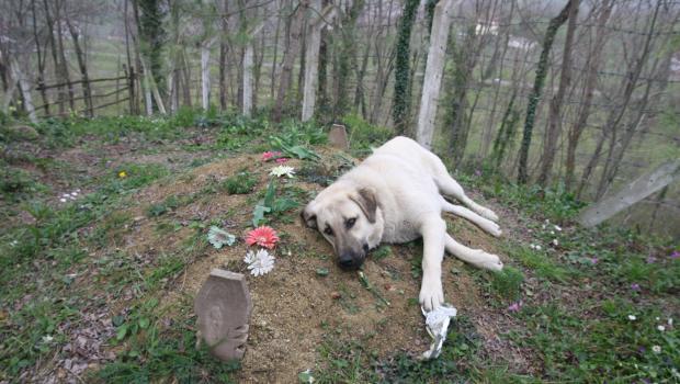 Эта «убитая горем» собака, каждый день бегает на кладбище, чтобы навестить могилу своего хозяина…