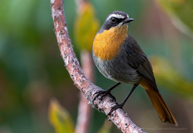 Cape Robin-Chat Kirstenbosch National Botanical Garden Vernon Chalmers Photography