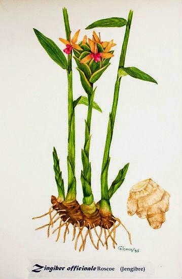 propiedades medicinales del jengibre