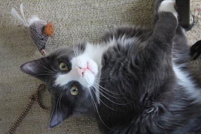 grey-and-white cat lying on floor with a cat fishing rod toy