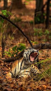 Tiger Cute Mobile HD Wallpaper