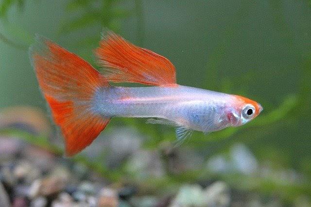 Cara Merawat Ikan Guppy Yang Baik Dan Benar Ikanesia Id