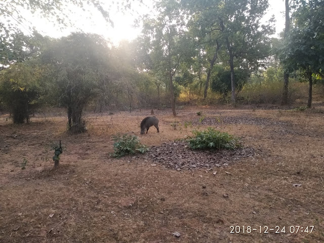 Wild Boar at Bandhavgarh