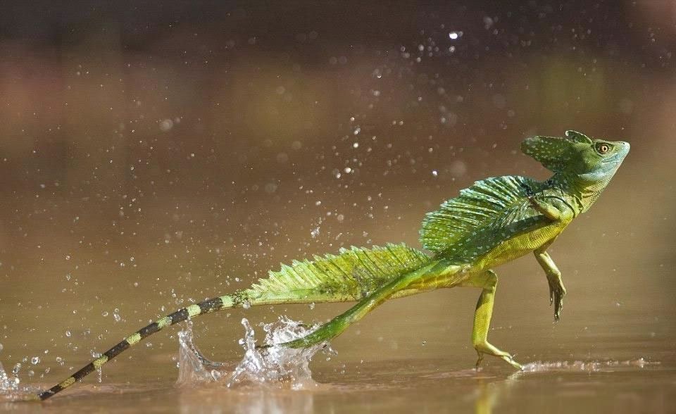 Jesus Christ Lizard (Basiliscus sp.) running on water