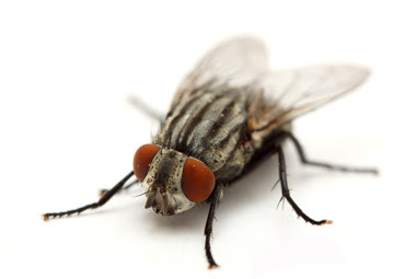 Close up of a common house fly (Musca domestica). House Flies have big red eyes, translucent wings, and are grayish-brown with four large stripes running parallel down their bodies. .