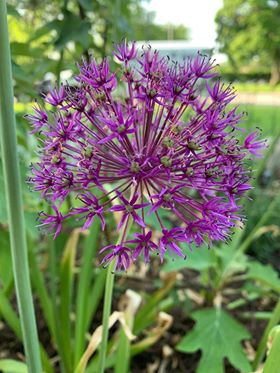 Allium Garden Tour - showing just how beautiful an Indiana Garden can be!